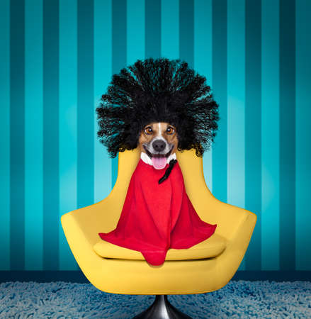 jack russell dog  at the hairdressers with long curly hair wig ,  sitting on a salon chair, cleary a bad hair day