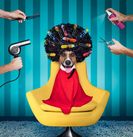 jack russell dog  at the hairdressers with long curly hair wig , all hands working on him with comb, spray, dryer, and comb , sitting on a salon chair