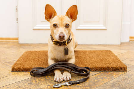 podenco dog waiting for owner to play  and go for a walk on door mat ,behind home door entrance with leash on ground Stock Photo
