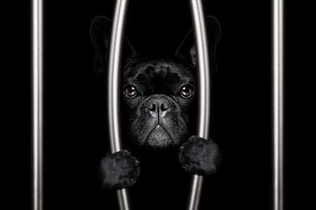 criminal french bulldog dog  behind bars in police station, jail prison, or shelter  for bad behavior Reklamní fotografie
