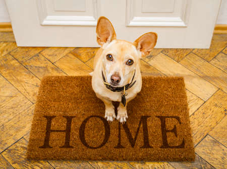 podenco dog waiting for owner to play  and go for a walk on door mat ,behind home door entrance 免版税图像