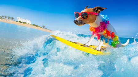 jack russell dog surfing on a wave , on ocean sea on summer vacation holidays, with cool sunglasses and flower chain
