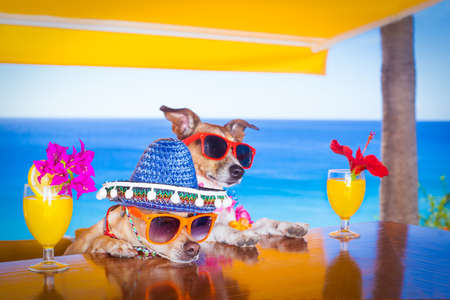 couple of drunk  dogs   with sunglasses in summer vacation holidays   with  cocktail drinks  at the beach bar Stock Photo