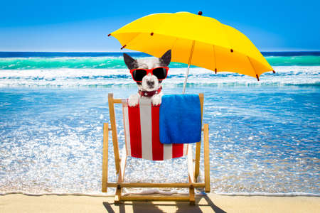 poodle  dog resting and relaxing on a hammock or beach chair under umbrella at the beach ocean shore, on summer vacation holidays