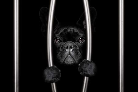 criminal french bulldog dog  behind bars in police station, jail prison, or shelter  for bad behavior Stock Photo