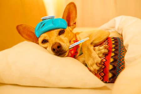 ziek en ziek chihuahua hond rust met een siësta of slapen met thermometer en warm waterfles Stockfoto