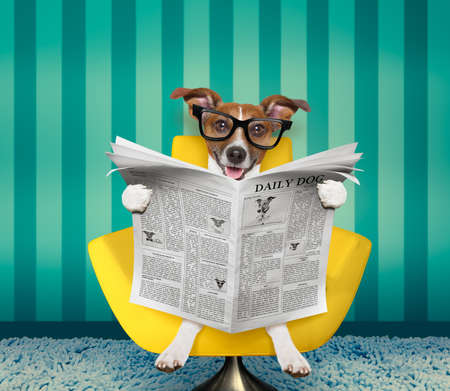 jack russell dog reading newspaper on a chair or  sofa , couch, or lounger , in living room Stock Photo
