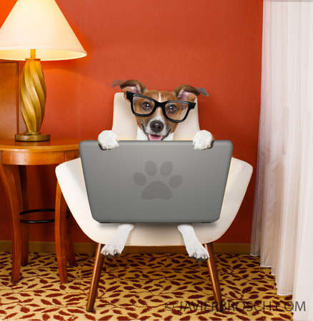 jack ruussel dog browsing the internet or searching the net  with laptop pc computer , on a chair at home , with reading glasses