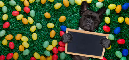 funny  happy french bulldog  easter bunny  dog with a lot of eggs around on grass  , holding a blank empty banner or placard