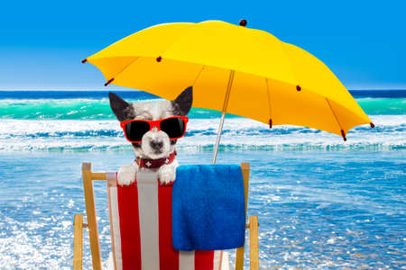 close up of  poodle  dog resting and relaxing on a hammock or beach chair under umbrella at the beach ocean shore, on summer vacation holidays Standard-Bild