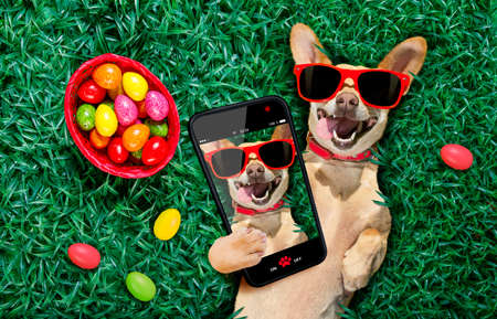Funny happy podenco easter bunny dog with a lot of eggs around on grass and basket , taking and sharing a selfie with cell phone or smartphone