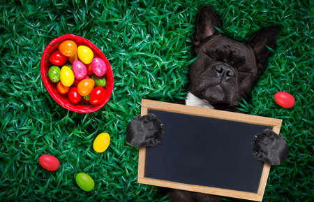 funny  happy french bulldog  easter bunny  dog with a lot of eggs around and basket  on grass  , holding a blank empty banner or placard