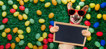 funny  happy podenco  easter bunny  dog with a lot of eggs around and basket  on grass  , holding a blank empty banner or placard