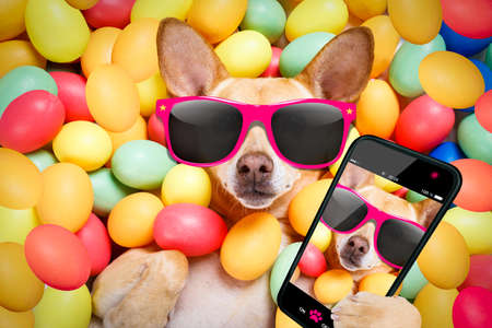 happy easter dog lying in bed full of funny colourful eggs , wearing silly sunglasses , taking or sharing a selfie , with smartphone or cell phone Stock Photo