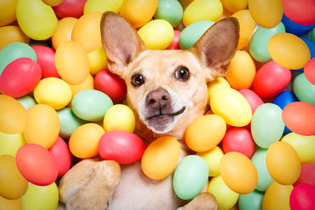 happy easter  chihuahua dog lying in bed full of funny colourful eggs ,  for the holiday season