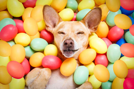 happy easter dog lying in bed full of funny colourful eggs , sleeping or resting the holiday  season Archivio Fotografico