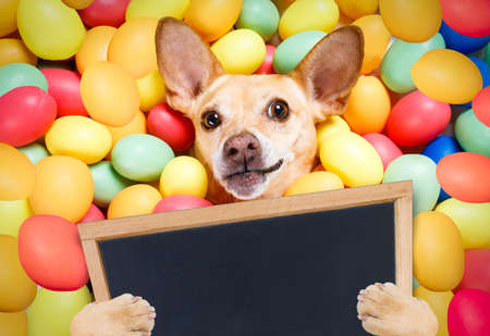 happy easter dog lying in bed full of funny colourful eggs ,holding a placard or blackboard,   for the holiday season