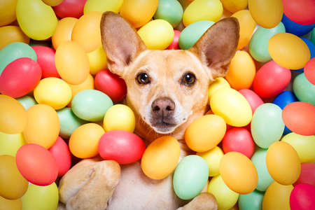 happy easter dog lying in bed full of funny colourful eggs ,  for the holiday season