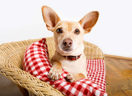 cuddly  podenco  dog  resting or relaxing  on the blanket in bed in   bedroom, ill ,sick or tired.