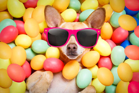 happy easter dog lying in bed full of funny colourful eggs , wearing silly sunglasses for the holiday season