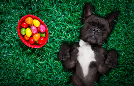 funny  happy french bulldog  easter bunny  dog with a lot of eggs around on grass  and basket , sleeping and resting this season