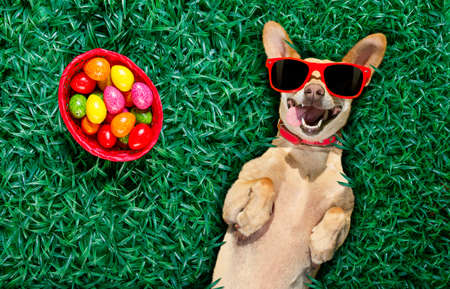 funny  happy podenco easter bunny  dog with a lot of eggs around on grass  and basket , sleeping and resting this season
