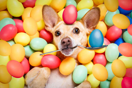 happy easter  chihuahua dog lying in bed full of funny colourful eggs ,balancing a red egg on the head and with spoon,  for the holiday season Stock Photo