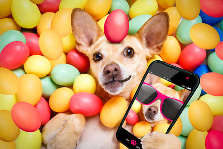 happy easter dog lying in bed full of funny colourful eggs ,  taking or sharing a selfie , with smartphone or cell phone