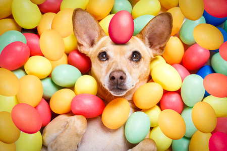 happy easter  chihuahua dog lying in bed full of funny colourful eggs ,balancing a red egg on the head,  for the holiday season