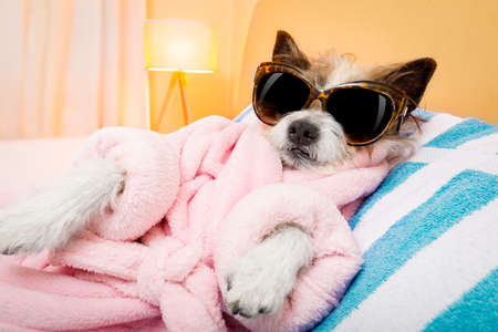 cool funny  poodle dog resting and relaxing in   spa wellness salon center ,wearing a  bathrobe and fancy sunglasses Foto de archivo