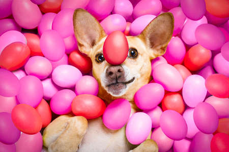 happy easter  chihuahua dog lying in bed full of funny colourful eggs ,balancing a red egg on the nose,  for the holiday season