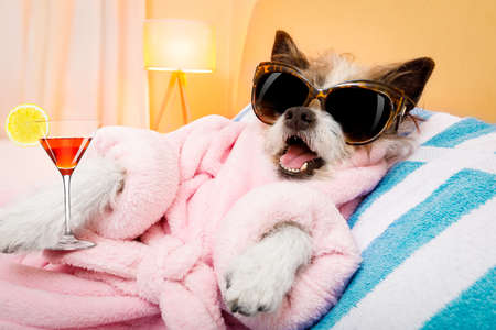 cool funny  poodle dog resting and relaxing in   spa wellness salon center ,wearing a  pink bathrobe and fancy sunglasses, with martini cocktail Archivio Fotografico