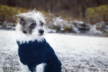 cool funny freezing icy dog in snow with pullover or sweater , sitting and waiting to go for a walk with owner