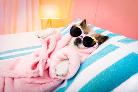 cool funny  poodle dog resting and relaxing in   spa wellness salon center ,wearing a  bathrobe and fancy sunglasses Stock Photo
