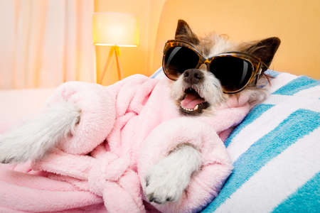cool funny  poodle dog resting and relaxing in   spa wellness salon center ,wearing a  pink  bathrobe and fancy sunglasses Stock Photo