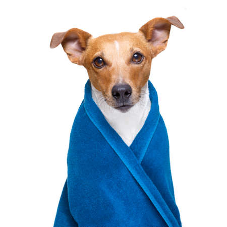 jack russell dog in a towel  not so amused about that , with blue colour,  having a spa or wellness treatment or is about to have a shower , isolated on white background