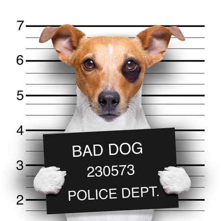 criminal mugshot  of jack russell  dog at police station holding placard , isolated on background Stock Photo