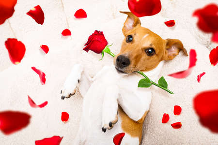 jack russel dog in love for happy valentines day with petals and rose flower in mouth  , looking up in wide angle