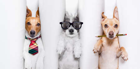 Office businessman couple team of dogs as boss and chef , busy and burnout , feeling the pressure at work