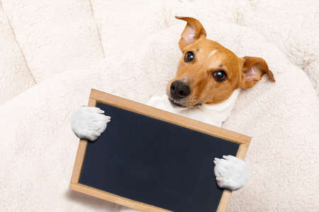 office worker businessman jack russell dog  as  boss and chef ,  holding banner or placard