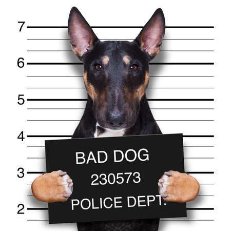 criminal mugshot  of pitbull terrier  dog at police station holding placard , isolated on background Stock Photo
