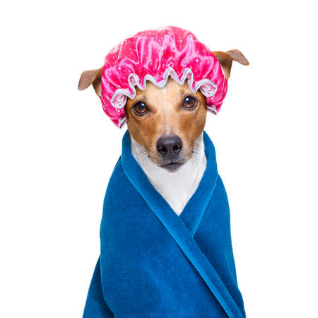 jack russell dog  in a bathtub not so amused about that ,wearinga  towel or. bathrope or towel