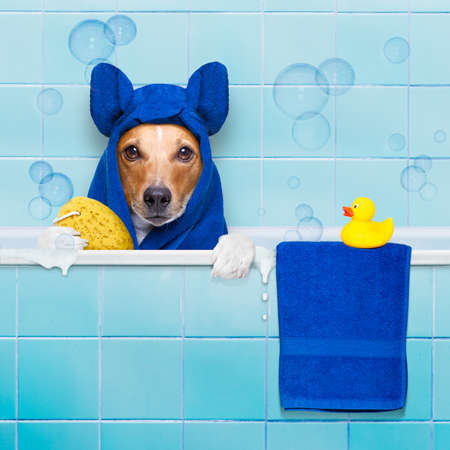 jack russell dog  in a bathtub not so amused about that , with yellow plastic duck and towel,wearing bathrope or towel Stock Photo