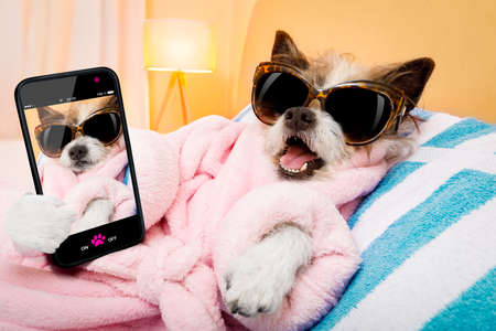 cool funny  poodle dog resting and relaxing in   spa wellness salon center ,wearing a  bathrobe and fancy sunglasses, taking a selfie with smartphone or cell phone Stock Photo