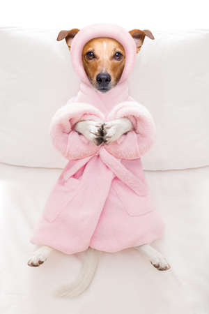 cool funny  jack russell  dog resting and relaxing in   spa wellness salon center ,wearing a  bathrobe Stock Photo