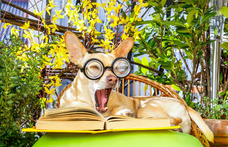 podenco dog reading his favorite book,surrounded by green plants , relaxing and sitting on a lounger or deck chair outside in balcony
