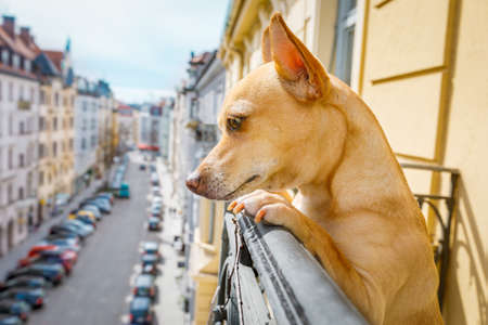 nosy watching podenco  dog form top of balcony, very curious and looking around