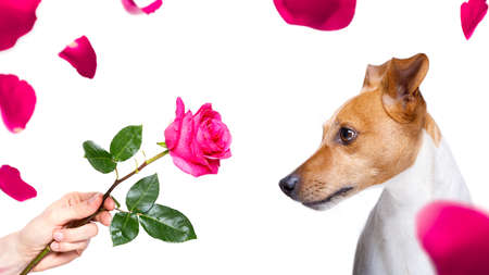 jack russell dog with  a pink red rose , in love with his owner, for valentines