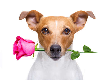 jack russell dog with  a pink red rose in mouth , in love on valentines day, isolated on white background