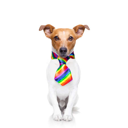 crazy funny gay dog proud of human rights ,sitting and waiting, with rainbow flag tie  , isolated on white background